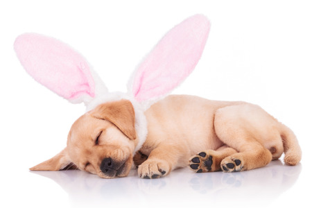 bunny rabbit: cute little labrador retriever puppy dog wearing bunny ears is sleeping on white background