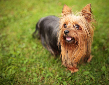 happy little yorkshire terrier puppy dog panting in the grass