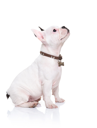 head collar: side view of a little french bulldog puppy sitting and looking up to something on white background Stock Photo
