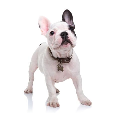 귀여운 프랑스 불독 강아지 서 흰색 배경 및 보이는 뭔가 스톡 콘텐츠