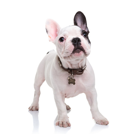 cute little french bulldog puppy standing  on white background and looks up to something Stock Photo