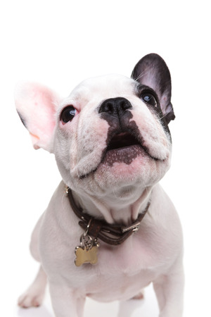 alert little french bulldog puppy barking to someone on white background photo