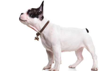 side view of a standing french bulldog puppy, looking up at something photo