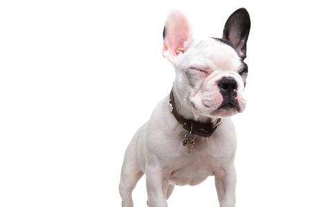 ojos cerrados: pequeño bulldog francés de pie con los ojos cerrados sobre fondo blanco