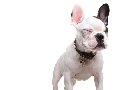 small french bulldog standing with eyes closed on white background