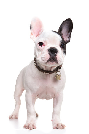 little french bulldog puppy standing with ears up on white background, full body photo