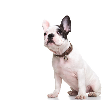 side view of a little french bulldog puppy sitting and looking at something up photo
