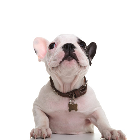 curious little french bulldog puppy looking up at something on white background photo