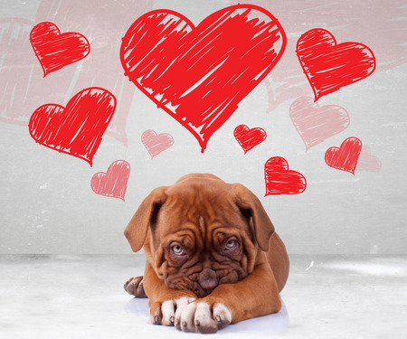 shy love of a dog de bordeaux puppy wit adorable face on hearts background Imagens