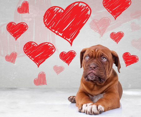cute dog de bordeaux puppy looking up to heart shapes for valentines day photo