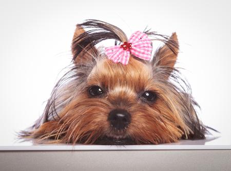 babyface: sleepy little yorkshire terrier puppy dog is lying down on studio background