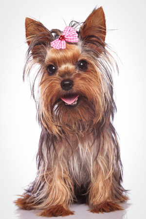 happy yorkshire terrier puppy dog sitting on studio background Stock Photo