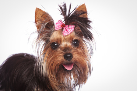 babyface: closeup of a cute yorkshire terrier puppy dog with pink bow in its hair