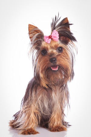 seated yorkie puppy dog looking at the camera on studio background Stock Photo