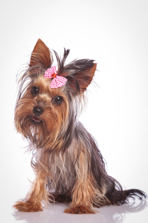 babyface: confused little yorkshire terrier puppy dog sitting and looking at the camera