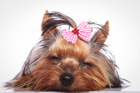 babyface: tired little yorkshire terrier puppy dog is sleeping on studio background