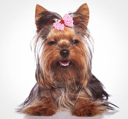babyface: adorable little yorkshire terrier puppy dog looking sleepy with eyes cloed is smiling to the camera Stock Photo