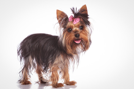 babyface: cute yorkshire terrier puppy dog standing on studio background and looking at the camera with mouth open and tongue exposed Stock Photo