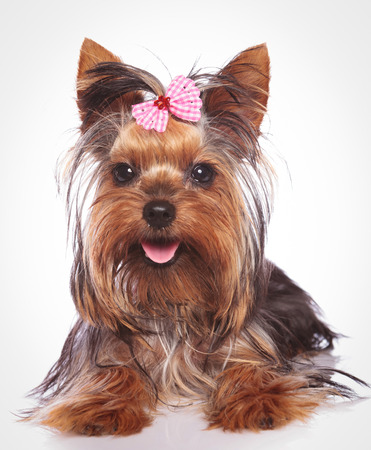 happy yorkshire terrier puppy dog lye down  on studio background Stock Photo