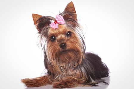 curious little yorkshire terrier puppy dog lying down and looking at the camera