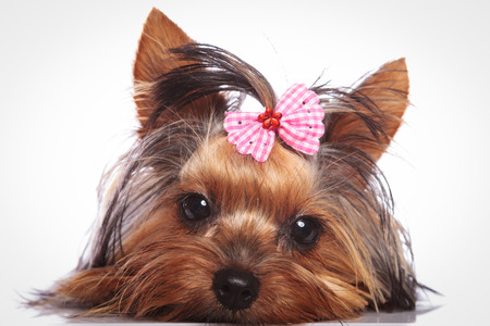 sleepy little yorkshire terrier puppy dog is lying down to rest Stock Photo