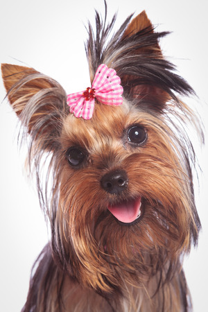 face of a cute yorkshire terrier baby dog looking happy, on studio background