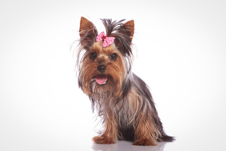 cute yorkshire terrier puppy dog  sitting on studio background and looking at the camera with mouth open and tongue exposed