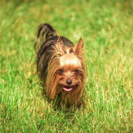 babyface: cute small yorkshire terrier puppy dog walking in the grass