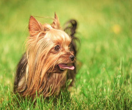 small yorkshire terrier puppy dog with tongue out looking to its side , while standing in the grass Stock Photo