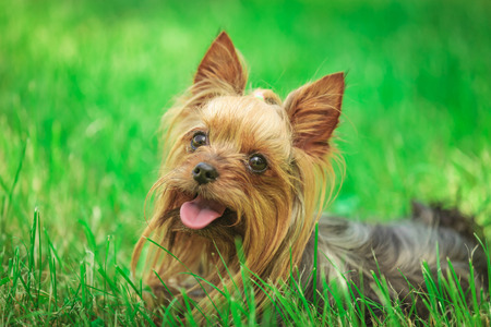 panting: adorable happy yorkshire terrier puppy dog panting in the grass, with mouth open and tongue exposed, looking up to something