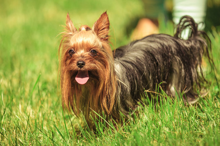 panting: beautiful yorkshire terrier puppy dog panting and looking at the camera while standing in the grass Stock Photo