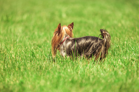 back view of a small yorkshire terrier puppy dog with long coat looking away while standing in the grass