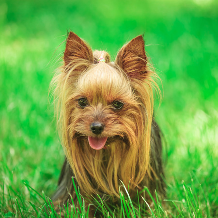 face of a cute yorkshire terrier puppy dog in the grass, panting and loojing very happy