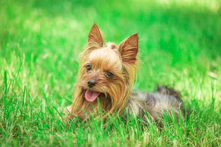 seated yorkshire terrier puppy dog , in the grass with mouth open
