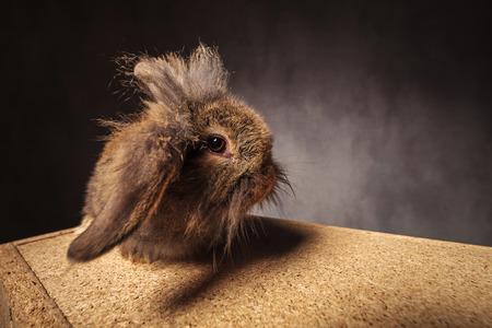 rabbit standing: funny looking lion head bunny rabbit standing on a wooden box in studio