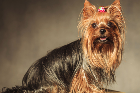 side view of a cute yorkshire terrier puppy dog with mouth open looking at the camera on grey studio background