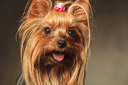 幸せな小さなヨークシャー テリア子犬犬顔の口のクローズ アップ写真を開き、舌が公開されます。