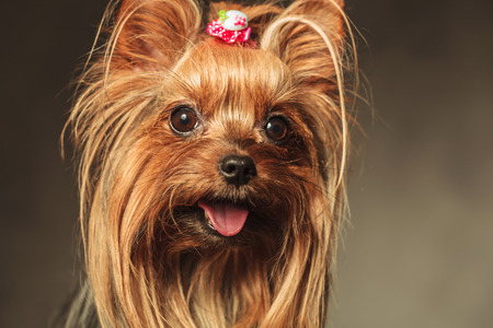 closeup picture of a happy little yorkshire terrier puppy dog face with mouth open and tongue exposed