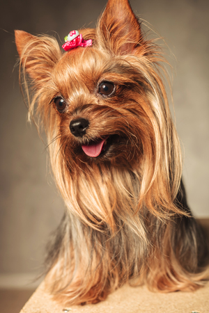 panting: side view of an adorable happy yorkshire terrier puppy dog panting with mouth open on grey studio background