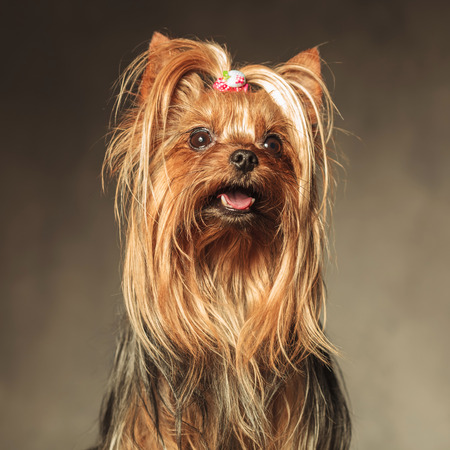 small dog: cute seated yorkshire terrier puppy dog looking up at something