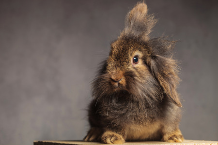 animal ear: Furry brown lion head rabbit bunny sitting on a wood box while looking at the camera.