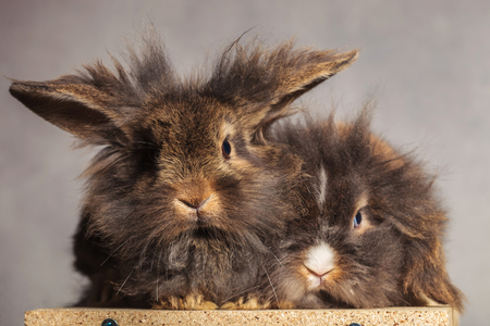 togheter: Furry lion head rabbit bunnys looking at the camera while lying on on wood box.