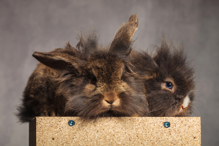 furry: Two furry lion head rabbit bunnys sitting on a wood box on grey studio background.
