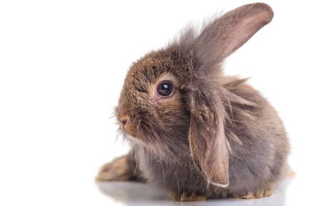 conejo: Vista lateral de un conejo cabeza de león acostado en el fondo aislado.