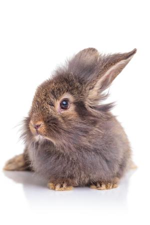 conejo: Imagen de un conejo de conejo cabeza de león lindo que se sienta en el fondo blanco del estudio.