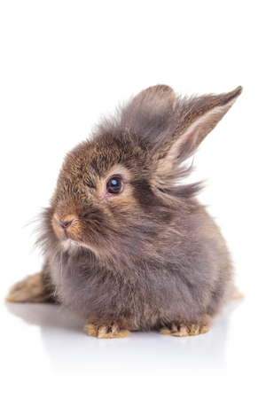 head of lion: Picture of a cute lion head rabbit bunny sitting on white studio background.