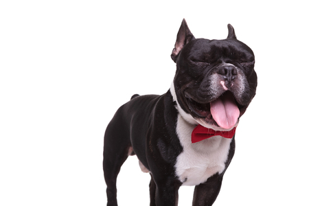 funny face: funny face of a french bulldog with eyes closed and tongue exposed, wearing red bow tie on white background