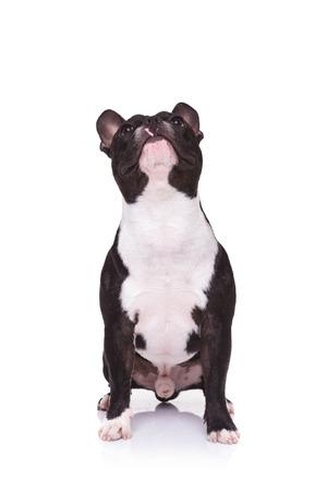french bulldog puppy: french bulldog puppy looking up while sitting on white backround