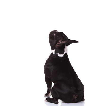 back view of a seated little french bulldog puppy looking up to something isolated on white background