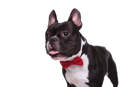 panting: side of a panting french bulldog puppy wearing bow tie , isolated on white background Stock Photo